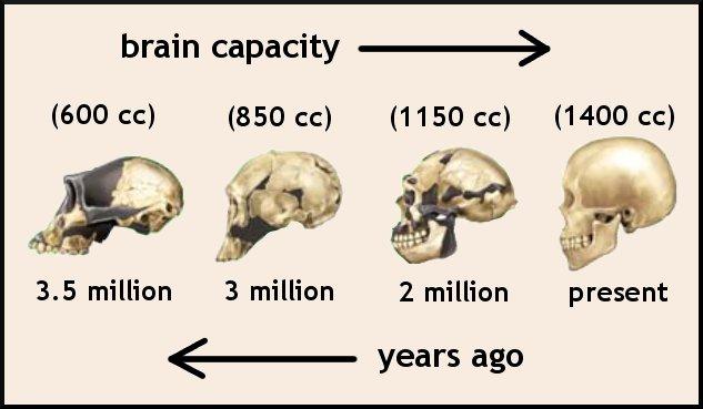 Resultado de imagen de El tamaño del cerebro evolucionó